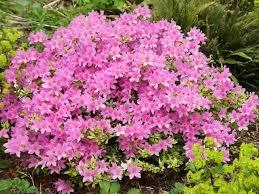 Plants And Shrubs With Pink Flowers - Garden Helper, Gardening ...