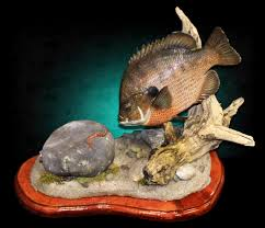 bluegill fish mount by marine creations taxidermy