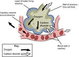 Gas Exchange Chart Carbon Dioxide Pmg Biology