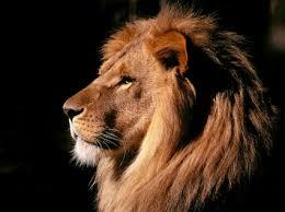 lion thinking wallpaper big cats