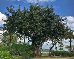 ficus elastica grows into a large tree with spreading branches