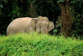 essay on elephants essay of elephant essay on elephant dies ip  photo essay the pygmy elephants of borneo borneo elephant 2