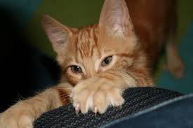 10 Ways to Prevent Furniture Scratching by Cats Petful