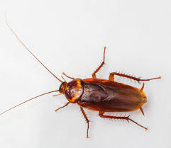 German Cockroach Extermination Pest Control Of Bed Bugs Fleas And