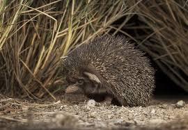 nocturnal desert animals. Beautiful Desert The Desert Hedgehog Is A Nocturnal Resident Of Arabian Deserts To Nocturnal Desert Animals N