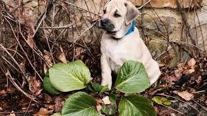the 20 most poisonous plants for dogs