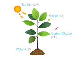 if we were to write the formula for photosynthesis it would look like this