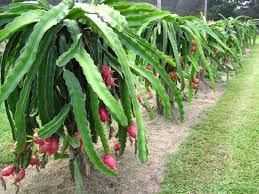 Dragon Fruit Tree And Its Great Benefits U2013 BeaBeeIncDragon Fruit On Tree