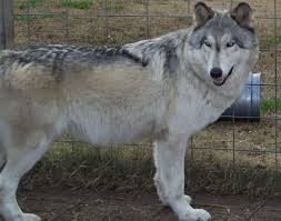white husky wolf mix with blue eyes. Exellent Mix Re Blue Eyed Huskies Inside White Husky Wolf Mix With Eyes Z