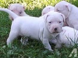 pitbull dog puppies white. Fine Pitbull All White Pitbull Puppies For Sale Razoru0027s Edge BIG For Pitbull Dog Puppies T