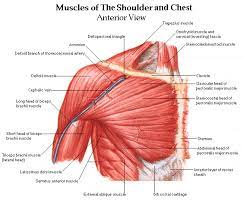 The chest is a complicated muscle, and one of the larger areas of the body. Shoulder Muscles And Chest Human Anatomy Diagram Am Medicine Shoulder Muscle Anatomy Human Body Anatomy Muscle Diagram