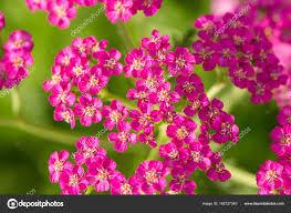 自然の背景にピンクのおしゃれガーデン ヤロウ活気のある夏の風景