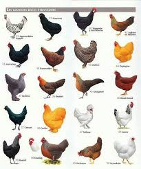 Different Types Of Chickens Chart Chickens Buk Buk Bawwwwwk Chickens Backyard Chicken