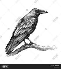 Hand Drawn Crow Image Photo Free Trial Bigstock