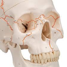 Numbered Human Classic Skull Model 3 Part 3b Smart Anatomy