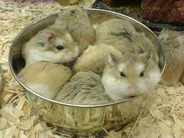 petsmart hamsters. Contemporary Petsmart Hamsters At Petsmart  By Its Chris For S