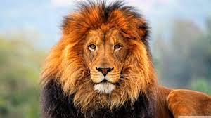Lion Face High Resolution - 1600x900 ...