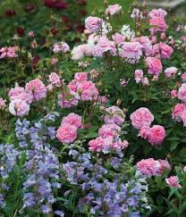 Small Picture A Fabulous Duo Rose The Mayflower and Penstemon Stapleford Gem