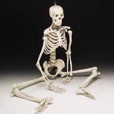 Image result for esqueleto humano