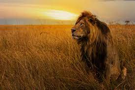 Big Lion, HD Animals, 4k Wallpapers ...