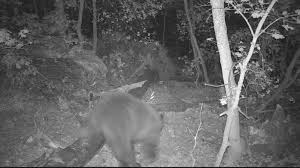 Black Bear Browning Recon Force Trail Camera Image 4 The DIY Hunter - Scouting For Elk \u2014 First Time Out Checking My