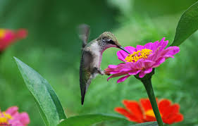 hummingbirds and flowers wallpaper. Flowers Birds Hummingbirds Tsiniya Pink Wallpaper 169566 WallpaperUP For And