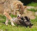 Download Foto Free Stock Photo Of Animal, Attack, Battle
