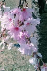 Bunga Sakura Bunga Sakura Mekar Saat Musim Gugur Di Jepang Halaman All
