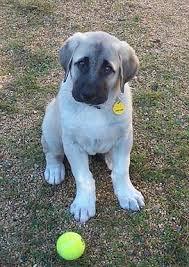 Anatolian Shepherd Puppy Growth Chart Anatolian Puppy Growing Up
