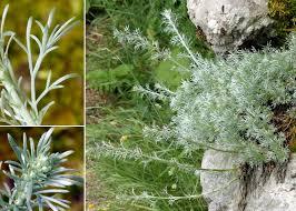 Artemisia nitida Bertol. - Portale sulla flora del Parco Naturale delle ...