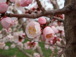 Plum Tree Harvest U2013 How And When Do You Harvest PlumsPlum Tree Flowers But No Fruit
