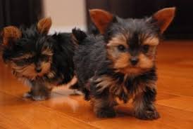 teacup yorkie puppies for adoption. Interesting Teacup Teacup Yorkie Puppies For Adoption On A