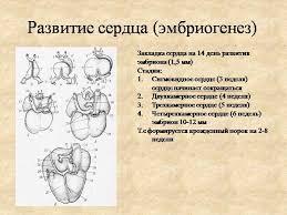 Человеческое сердце реферат БЕСПЛАТНЫЕ РЕФЕРАТЫ Развитие сердца человека реферат