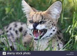 Arrabbiato Serval Gatto Selvatico Foto stock - Alamy