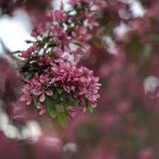 Beykoz'da erguvan çiçekleri güzelliği büyüledi! | Beykoz Aktuel