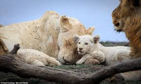 white lioness with blue eyes.  Lioness A White Lioness And Her Cub Nuzzle Each Other In A Heartwarming Display Of  Affection Intended White Lioness With Blue Eyes