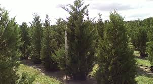 Leyland Cypress - FUTURE TREES INC