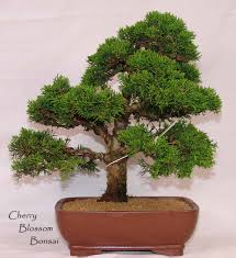 office bonsai. 50 Juniper Bonsai Tree Potted Flowers Office Purify The Air Absorb Harmful Gases Free Shipping-in From Home \u0026 Garden On Aliexpress.com R