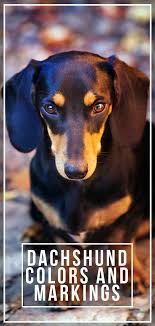 Dachshund Color Chart Dachshund Colors And Markings Explore The Range Of