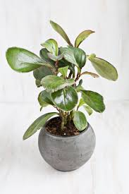 View in gallery Baby rubber plant
