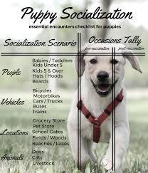 How To Socialize Your Labrador Puppy The Labrador Site