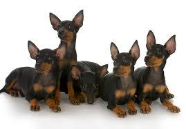 Manchester Terrier Size Chart Manchester Terrier