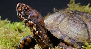 box turtle pet facts 22 amazing