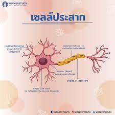มาส่วนประกอบของเซลล์ประสาท🤯 . .... - WINNER STUDY THAILAND