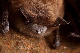 Animal Black Light Burns How Uv Light Might Help In The Fight Against Bat Killing