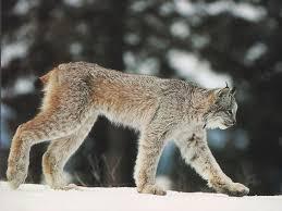 lynx size canada lynx canadian lynx coniferous forest