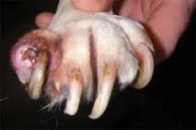 claws on both feet had grown under the paw through the foot pad and out