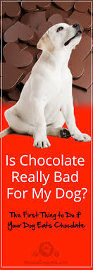 the first thing to do if your dog eats chocolate my dog ate chocolate
