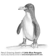 penguin drawings in pencil. Interesting Pencil Pencil Sketch Of Little Blue Penguin  Drawing Intended Drawings In