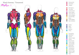 Images Human Body Muscle Chart Human Muscular System Chart Hd M